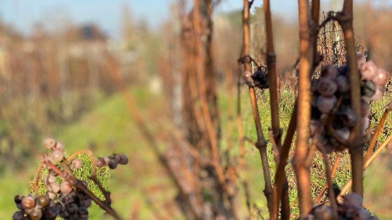 YSC Life vineyard in Winter