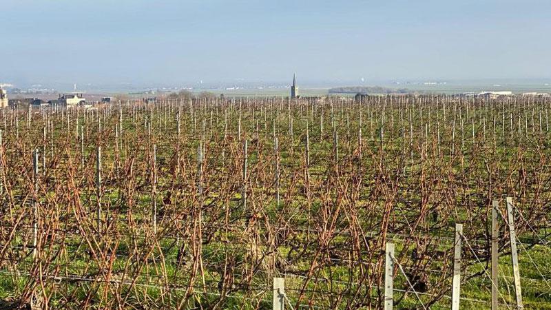 YSC Life vineyard in Avize Grand Cru village