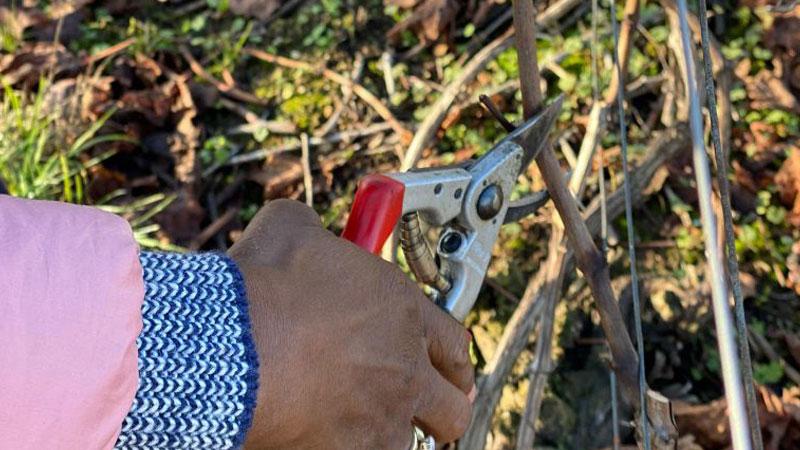 YSC Life vineyard pruning